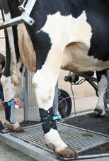 prod algometer cattle limb actuator