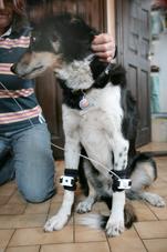 prod algometer leg actuator dog
